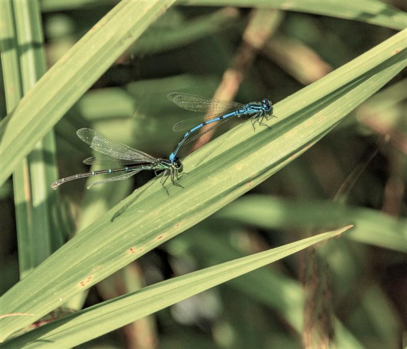 Common Blue damselfly - Male and Female_0.jpg