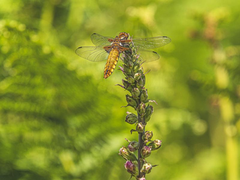Female Broad bodied chaser dragonfly.jpg