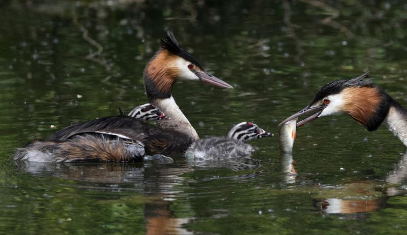 Great Crested Grebe with chicks.jpg