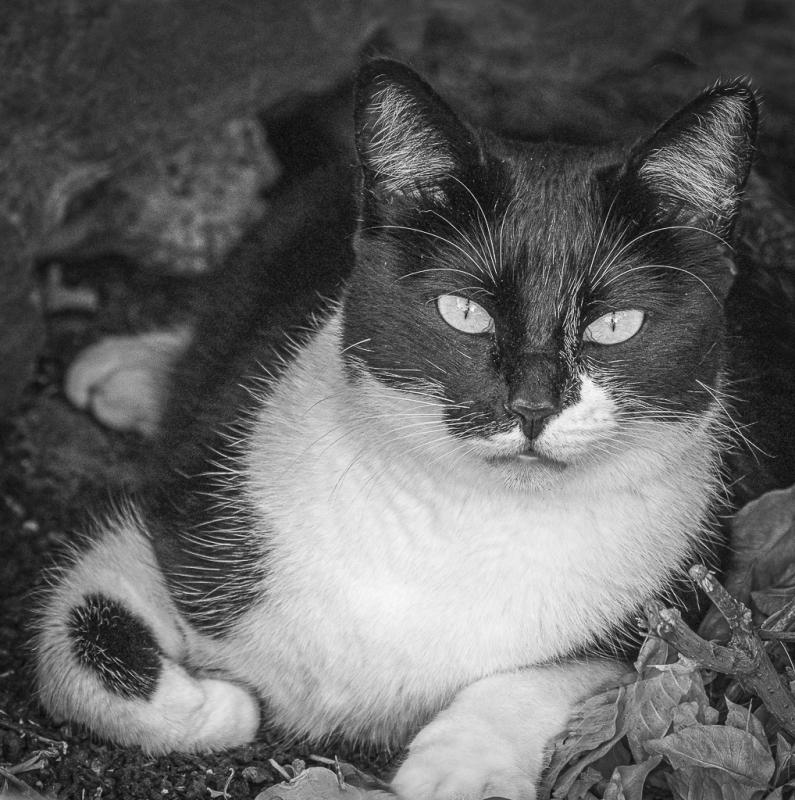 A Black and White cat.jpg