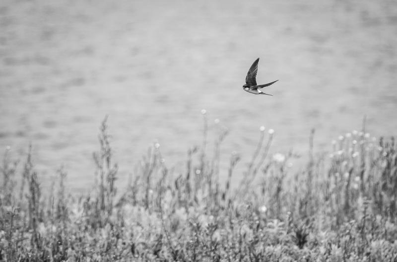 House Martin Flying low.jpg